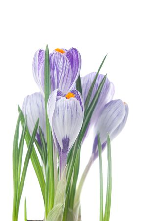 delicate crocuses isolated on a white background