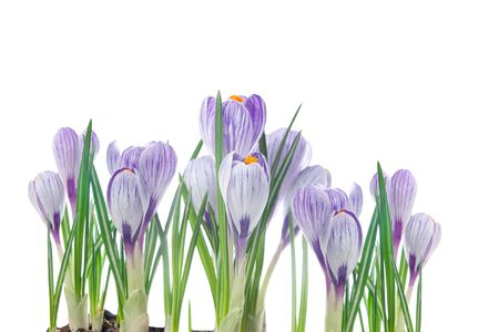 delicate crocuses isolated on a white background photo