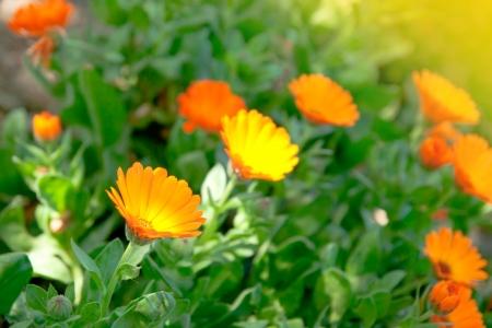 delicate  marigold flower close up background
