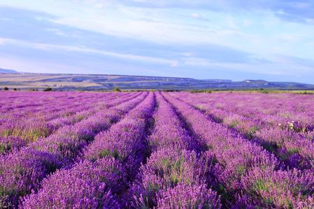 espliego: Campo de flores púrpuras de la lavanda. La naturaleza de fondo