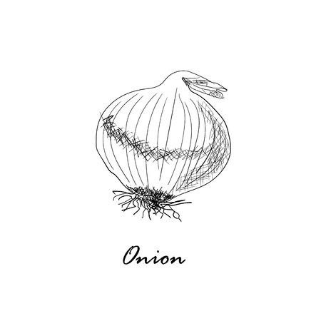 onion isolated: Hand drawn black vector illustration of onion isolated on white