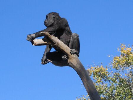 animal limb: gorilla out on a limb