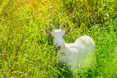 hued: Tinted, hued and colour-filtered photography of a white goat - symbol of new year 2015 Stock Photo