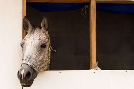 dapple grey: Horse in a horsebox. Grey stallion neb in a loose box window, with a copy-space Stock Photo