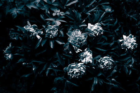 foiliage: Peony flowers and foiliage in black and white. Tinted and filtered photo witn grain. Stock Photo