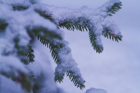 Firtree branch under snow in the forest, with a copy-space