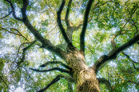 The Trunk of Old Linden Tree. Lower Angle of Linden Tree Foliage in Sunlight Banque d'images