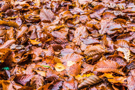 Wet Fallen Maple Leaves on a Ground