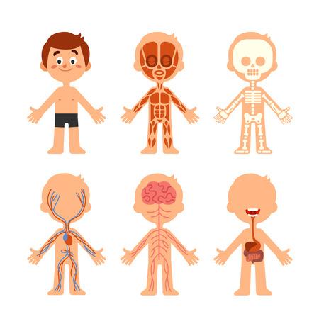 Anatomía del cuerpo del niño de dibujos animados. Icono de gráfico anatómico de sistemas de biología humana. Esqueleto, sistema de venas y músculos, órganos del cerebro, fisiología, medicina, salud, colorido, vector, aislado, símbolo, ilustración, conjunto