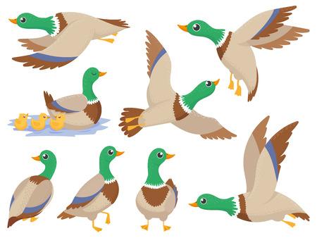 Wild ducks. Mallard duck, cute flying goose and green headed swimming canard. Ducks family, wildlife water lake bird Isolated cartoon vector icons illustration set Иллюстрация