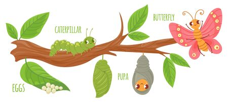 Cartoon butterfly life cycle. Caterpillar transformation, butterflies eggs, caterpillars and pupa. Insects growing vector illustration. Insect metamorphosis stages. Cute wildlife on tree branch Illusztráció