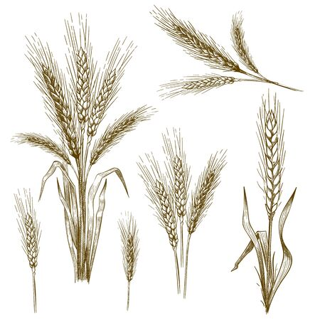 Hand drawn wheat ear. Sketch grain, wheat spikes and bakery grains vector illustration set. Collection of monochrome drawings of cultivated cereal plants, natural organic food crops in vintage style.