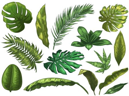 Green tropical leaves. Hand drawn rainforest nature leaf, color sketched monstera leaves vector illustration set. Green leaf summer, plant palm tree