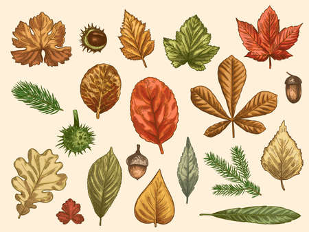 Hand drawn autumn leaves. Color falling forest foliage, october oak, acorn and chestnut, maple leaf vintage etching vector rustic set. Detailed seasonal botanic elements for decoration Ilustracja