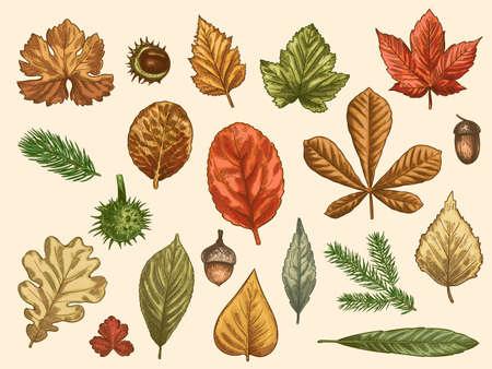 Hand drawn autumn leaves. Color falling forest foliage, october oak, acorn and chestnut, maple leaf vintage etching vector rustic set. Detailed seasonal botanic elements for decoration Illustration