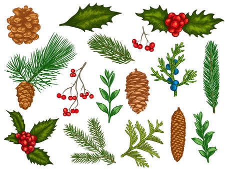 Xmas floral. Flower christmas winter decorations, red poinsettia, mistletoe, holly leaves with berries, fir branches, pine cones vector set. Engraved colorful winter plants, elements for cards Vectores