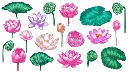 Pink lotus. Water lily flowers pink lotus and green leaves, beautiful bloom plant botanical garden, tropical floral element color vector set. Illustration lotus blossom flower, floral petal oriental