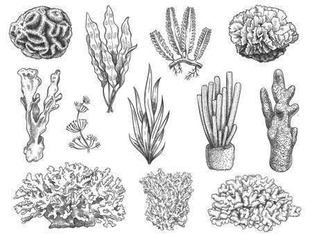 Sketch seaweed. Ocean reef coral and water plant, algae. Underwater life weeds. Marine botanical, cosmetology hand drawn engraved vector set. Illustration coral reef, water ocean underwater flora