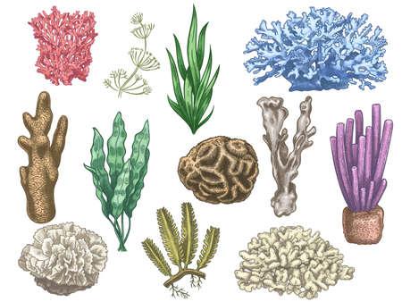 Hand drawn seaweeds and corals. Sea reef and aquarium underwater plants. Kelp, algae marine weeds vintage colored style isolated vector set. Illustration coral reef sea, seaweed marine Vettoriali