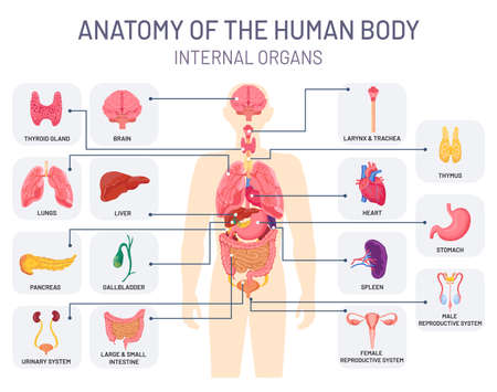Human organs system. Medical body anatomy, man internal physiology parts. Respiratory, reproductive and digestive systems vector infographic