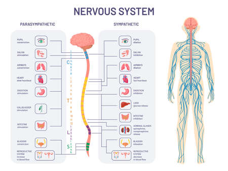 Human nervous system. Sympathetic and parasympathetic nerves anatomy and functions. Spinal cord controls body internal organs vector diagram Иллюстрация