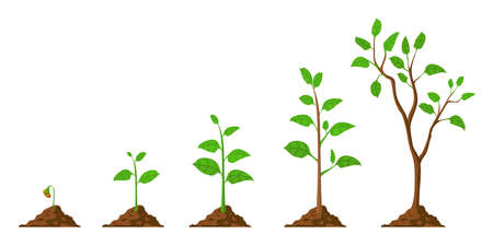 Tree grow. Plant growth from seed to sapling with green leaf. Stages of seedling and growing trees in soil. Gardening process vector concept 向量圖像