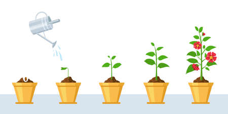 Flower growth process. Seedling, watering and gardening flowers phases. Stage of sprout growing into blossom plant in pot vector infographic