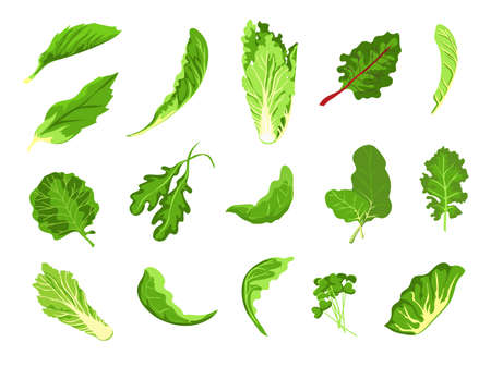 Salad leaves. Green fresh farm food, lettuce, cabbage, arugula, cress and kale. Healthy microgreen sprout, organic leaf vegetable vector set