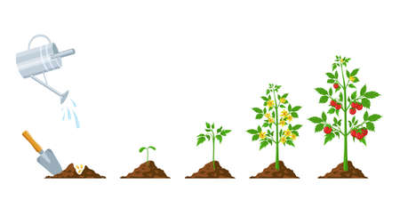 Tomato growth. Stages of plant seeding, flowering and fruiting. Vegetable green sprout grow. Agriculture planting process vector infographic