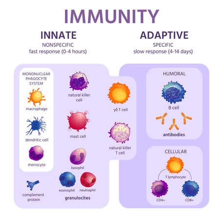 Innate and adaptive immune system. Immunology infographic with cell types. Immunity response, antibody activation, lymphocytes vector scheme 向量圖像