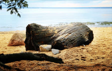 Wooden driftwood. Sandy beach. Summer.
