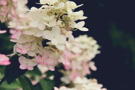 Background. White hydrangea. Blurred background. Summer shooting