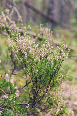 Heather in the middle of the forest. Close shot 免版税图像