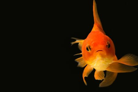 peces de colores: Goldfish mirarte enfoque suave Foto de archivo