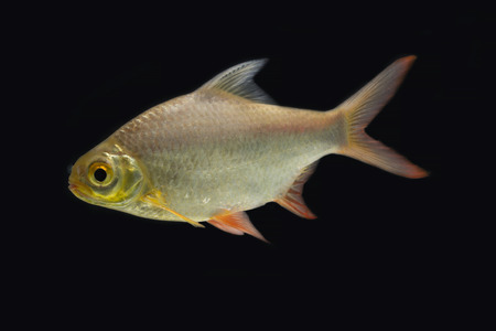 redtail: Red-tail Tinfoil Barb in the dark selective focus
