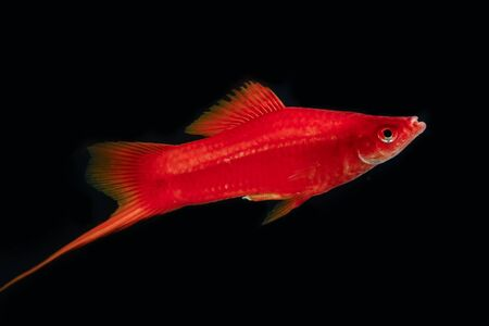 freshwater aquarium plants: Swordtail red color males in the dark selective focus