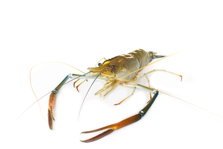 rosenbergii: Giant Freshwater Prawn Macrobra chium rosenbergii de Man on white, focus to eye Stock Photo