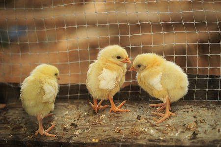 hatched: hatched chicks on a chicken farm