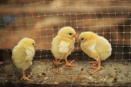 pulcini nati in un allevamento di polli