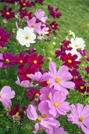 A lot of pink and white flowers of cosmos in a green meadow photo