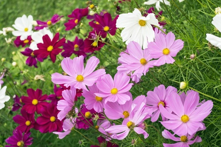 A lot of pink and white flowers of cosmos on a green meadow photo