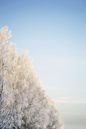 hoary: White hoary trees and clear blue winter sky Stock Photo