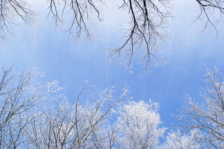 hoary: Silhouettes of hoary trees branches over clear blue sky