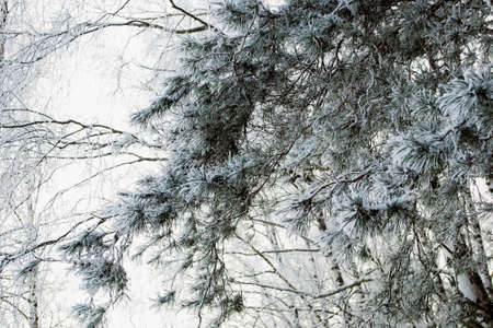 hoary: Hoary pine tree branch in the snowy winter forest