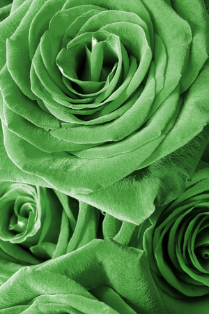Green roses closeup as a background photo