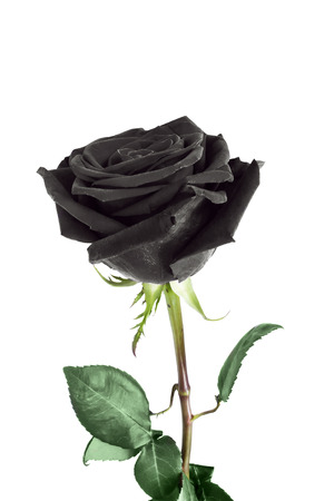 Black rose flower on white background