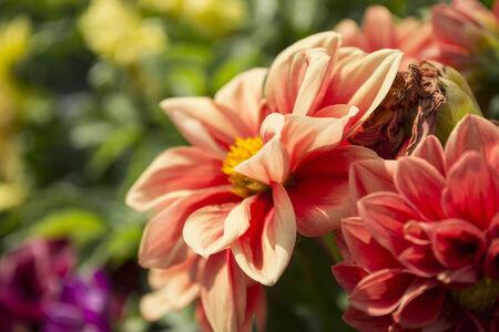 Pink dahlias in a garden closeup as a background photo