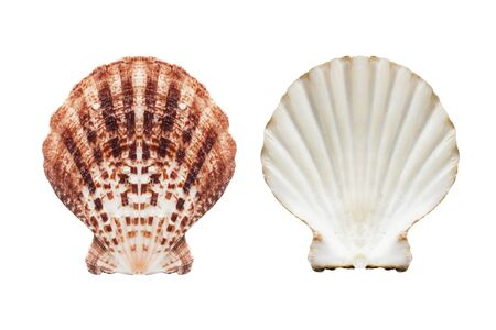 seashell: Two sides of brown seashell isolated over white