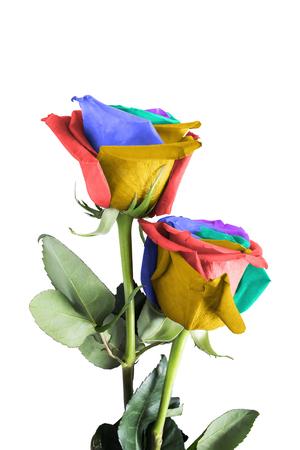 Deux roses avec des pétales colorés sur fond blanc