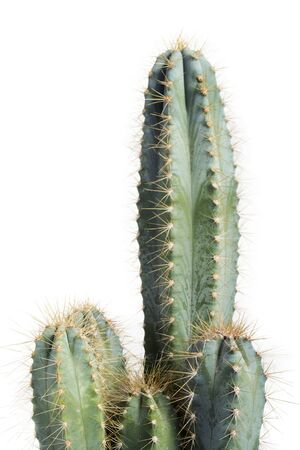 Houseplant pilosocereus azureus cactus closeup on white background